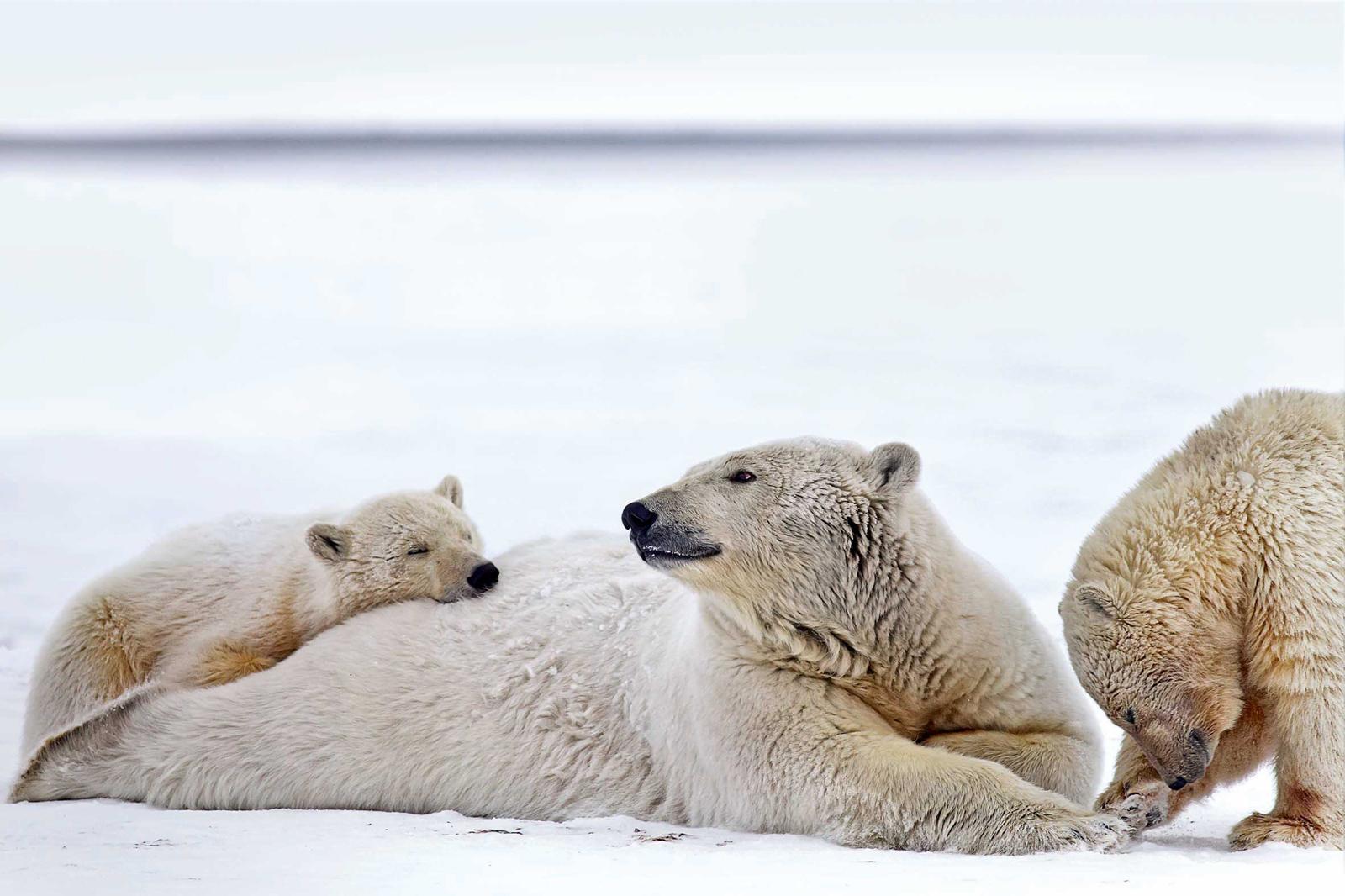 Im-Bann-des-Nordens, Eisbären in Alaska