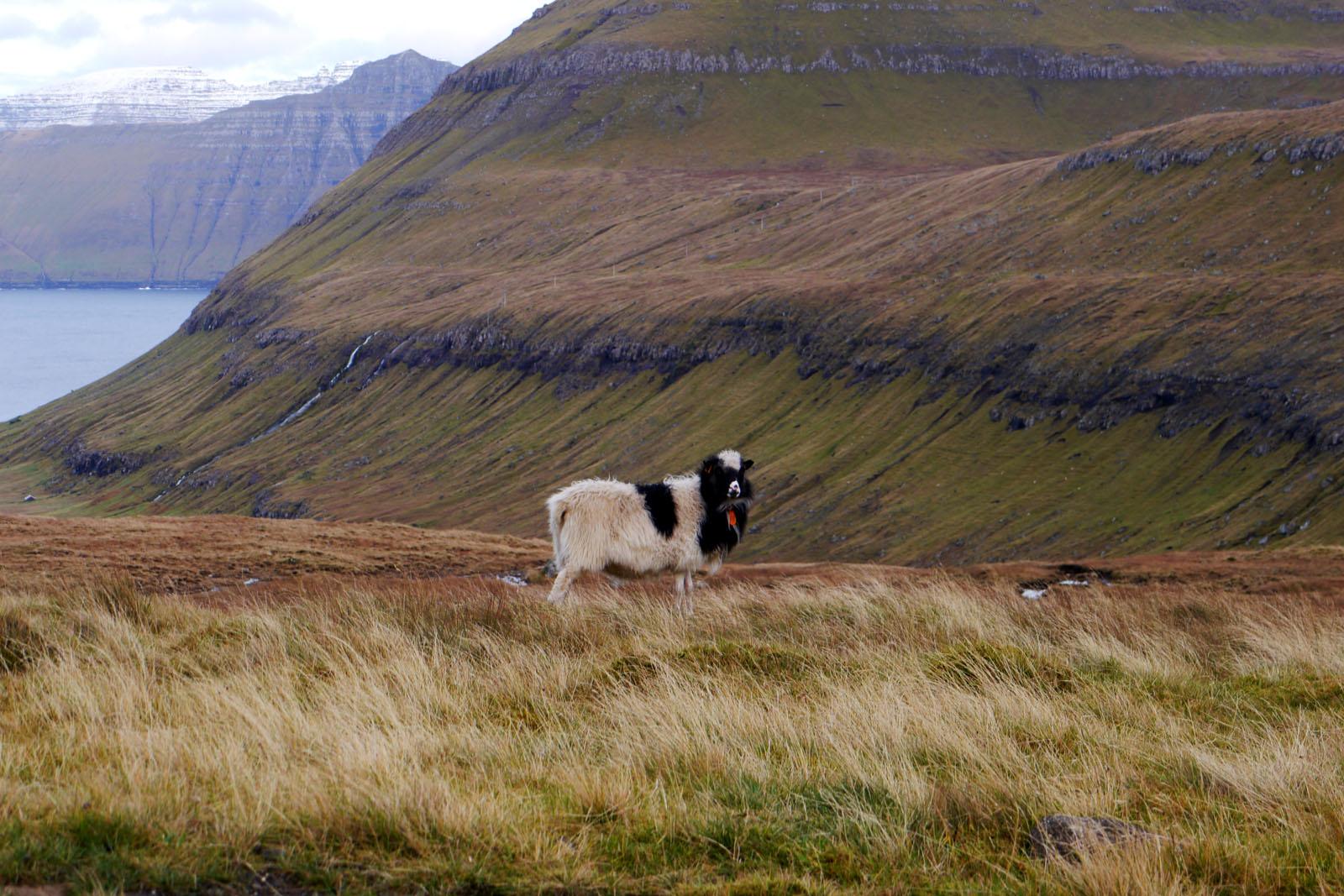 Schaf-Faroer Inseln-Berge