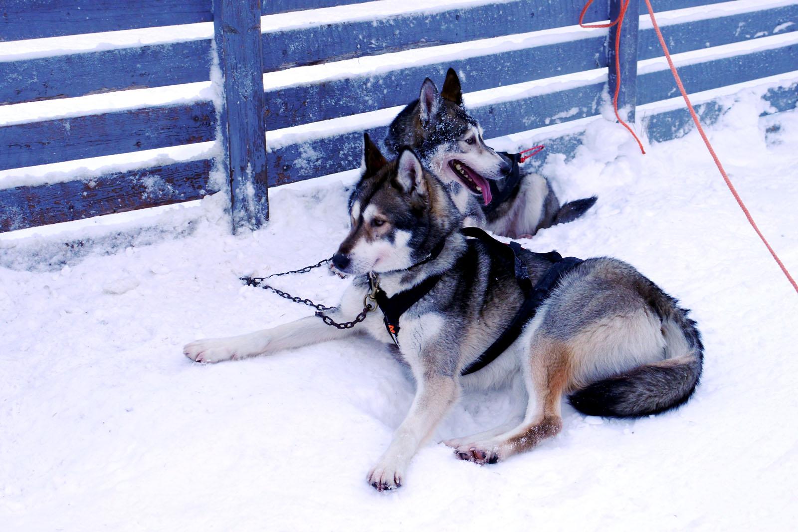 Schlittenhund Tour-Vuokatti-Finnland-Winter-3